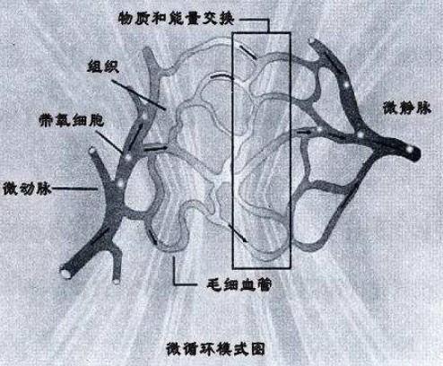 微循环模式图